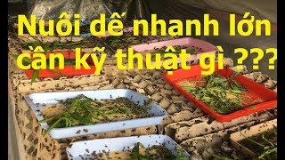 Nuôi dế cần nắm kỹ thuật nào giúp dế nhanh lớn | Crickets Farm in Vietnam