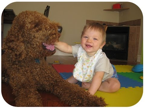 Poodle Dogs Making Baby Laugh Compilation - Cutest Relationship Poodle Dogs And Baby Videos