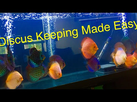 Breeding Discus - Artificially Raising Fry - Free-swimmer Day