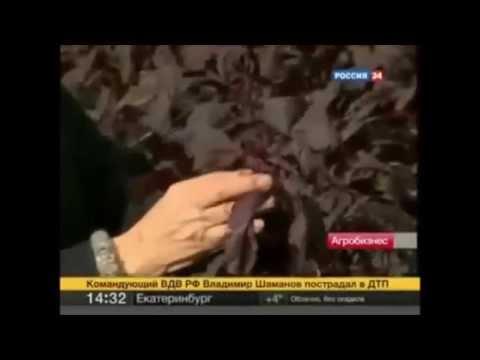 Амарант : лекарственное растение, применение, отзывы