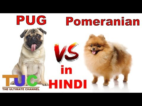 PUG VS POMERANIAN In HINDI | Dog vs Dog | Dog Comparison | The Ultimate Channel