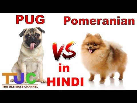 PUG VS POMERANIAN In HINDI   Dog vs Dog   Dog Comparison   The Ultimate Channel