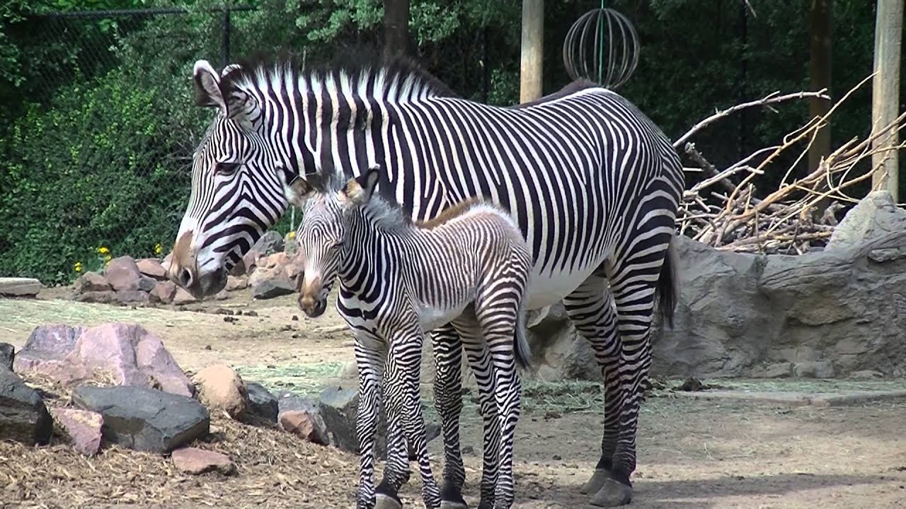 Newborn Baby Zebra Denver Zoo Doovi