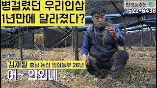 [한국농수산TV] 병 걸렸던 우리 인삼 1년만에 달라졌…