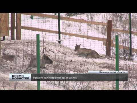 Северные олени появились в Нижегородской области