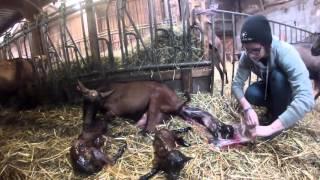 naissance de chevreaux triplés embetschés