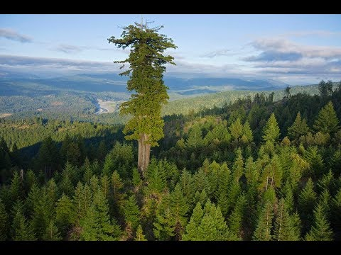 10 высочайших деревьев