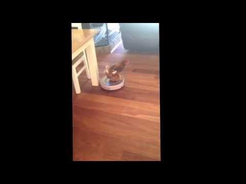James the chicken enjoying a vacuum ride. #chicken #vacuum #funny #animal #hen #roomba #video