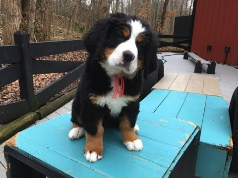 11 Week Old Tessa - Bernese Mountain Dog