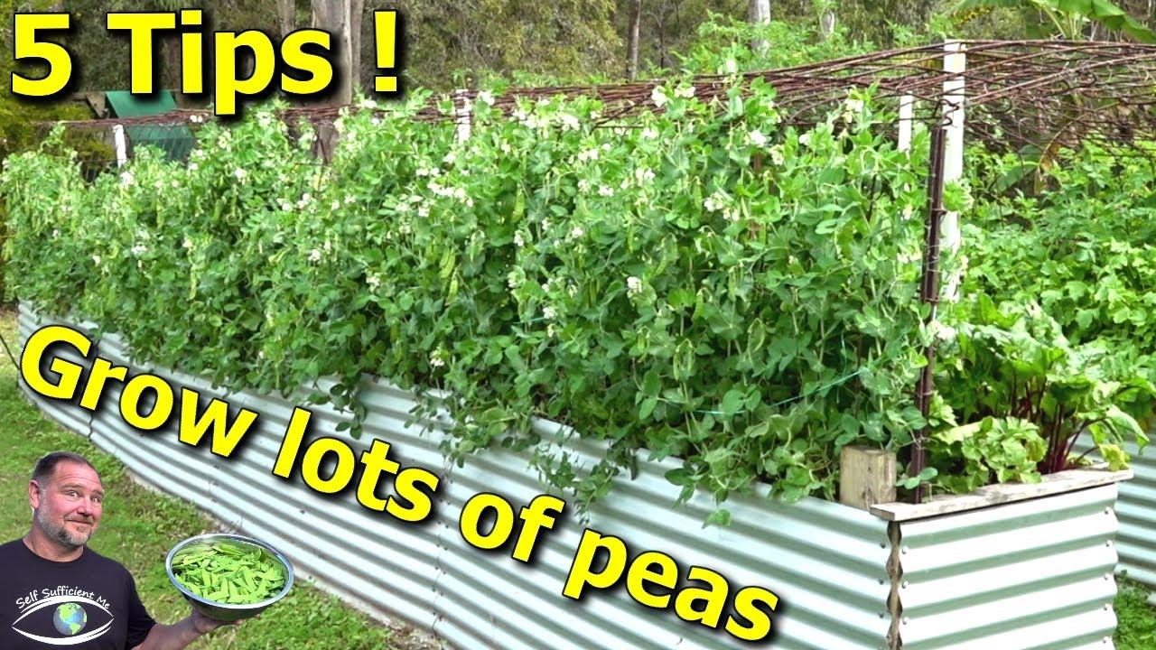 5 Tips How to Grow a Ton of Snow Peas