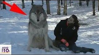 اقترب ذئب مفترس وجلس بجانب الفتاة.. شاهد ماذا حدث بعد ثواني..!!