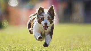 3 signs you might have an Australian Shepherd dog