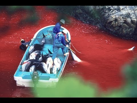 Dolphin Killing Begins In Japan Cove