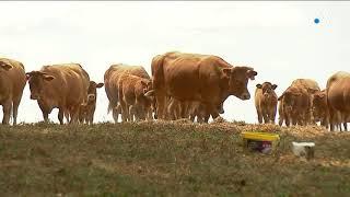 Avec la sécheresse, les éleveurs peinent à nourrir leurs bovins