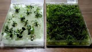 анубиас и яванский мох выращивание Anubias nana Java Moss
