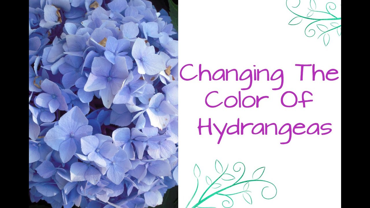 Ask Nell How To Change The Color Of Hydrangeas Youtube