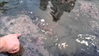 OCTOPUS STRIKES Feb-2015 Mavericks, Half Moon Bay, CA