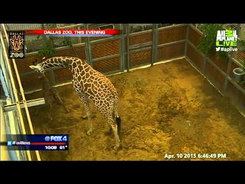 Thumbnail: Katie the giraffe gives birth at Dallas Zoo