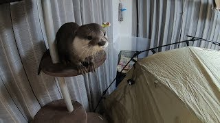 """""""Camping with an otter"""" I got a new tent! [Otter life Day 125] 【カワキャン】新しいテントを手に入れた!"""