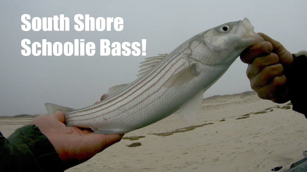 Spring Striped Bass of South Shore Long Island - They ...