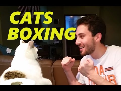 Cats boxing with sound effects