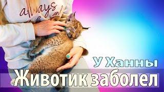 У котёнка рыси заболел животик