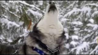 Аляскинский Маламут — Dogs 101