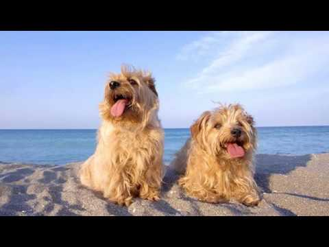 Norfolk Terrier - small dog breed