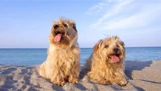 Norfolk Terrier  small dog breed