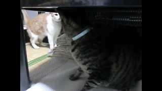 ケンカを仕掛ける猫:チャビはテーブルの上から ばしばし! 応戦する猫...