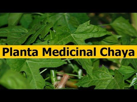 Propiedades de la Planta Medicinal Chaya - YouTube