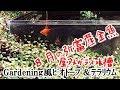 8月の屋外金魚水槽【Gardening風ビオトープ】弥富産金魚