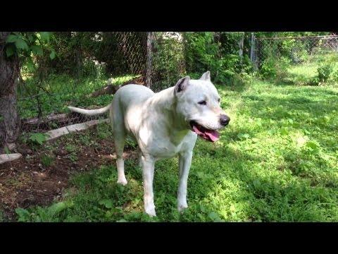 Pitbull Mix With Dogo Argentino