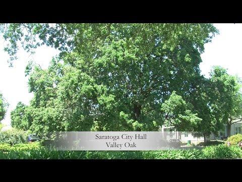 Saratoga's Heritage Trees