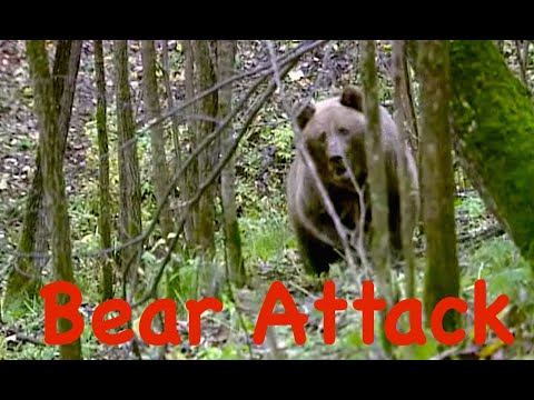 Атака медведя. Застрелить или оставить в живых? / Bear Attack