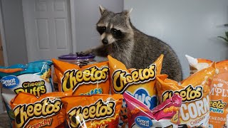 Cheeto The Raccoon Tries Cheetos for the First Time!  Taste Test!