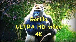 Gorilla gorilla gorilla Goryl nizinny - ZOO in Opole - Ultra HD video 4K