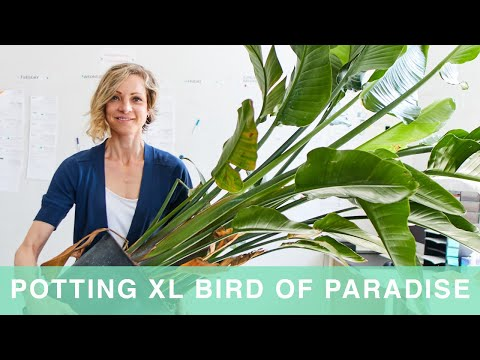 How To Pot & Care For Giant Bird Of Paradise Plant In Self-watering Lechuza Planter