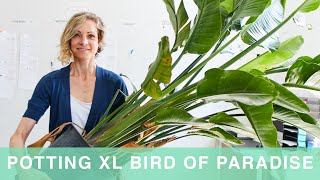 How To Pot & Cąre For Giant Bird Of Paradise Plant In Self-watering Lechuza Planter