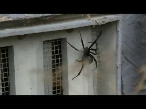 big black widow spider