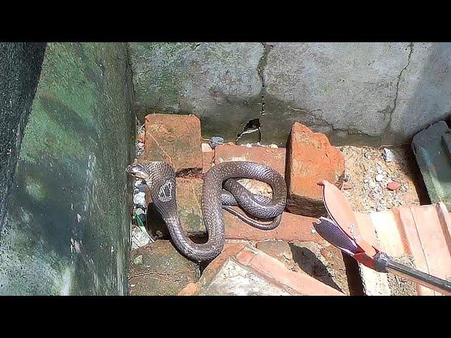 || Monocled Cobra venomous snake || दोस्तों यह सांप डसने में महारत हासिल है ||