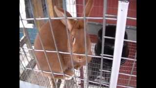 New Zealand Rabbitry Update W/ Bunnies, Cool Garden Tip & New Baby Chicks 3-11-13