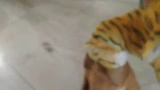 French Mastiff (dogue De Bordeaux) Dog Fighting Tiger To The Death