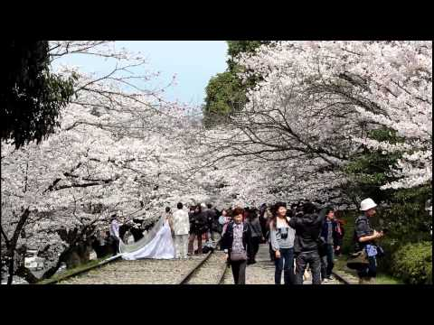 Sakura: Cherry Blossoms at Keage and Nanzen-ji Temple. Kyoto 【HD】