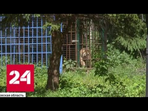 Рублевский тигр пугает владельцев особняков - Россия 24