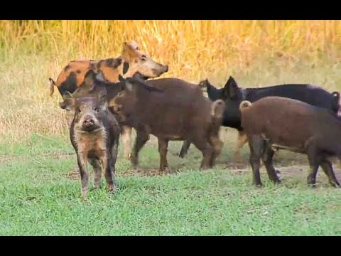 Wild Boar Hog Hunting With Crossbow In Oklahoma - Babe Winkelman's Outdoor Secrets
