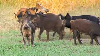 Wild Boar Hog Hunting with Crossbow in Oklahoma - Babe Winkelman