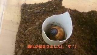 人生初めてカブトムシの蛹化観ました。 ただただ感動。。。 生命につい...