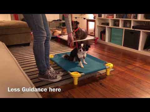 Bandit, a Chihuahua Learns The Place Command