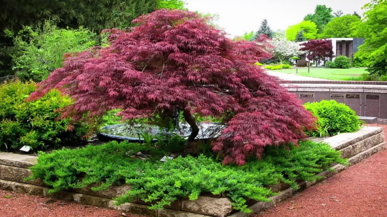 Japanese maple garden design youtube for Garden design with japanese maple